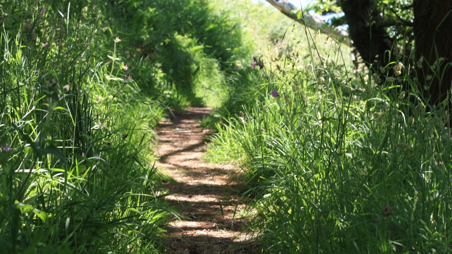 Image is of a winding footpath through summer grasses, wildflowers and the shade of a tree