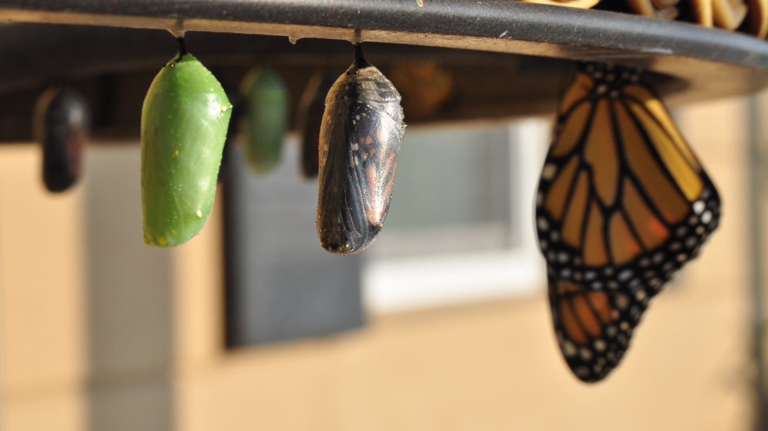 Image shows chrysalises at various stages and an emerging butterfly.