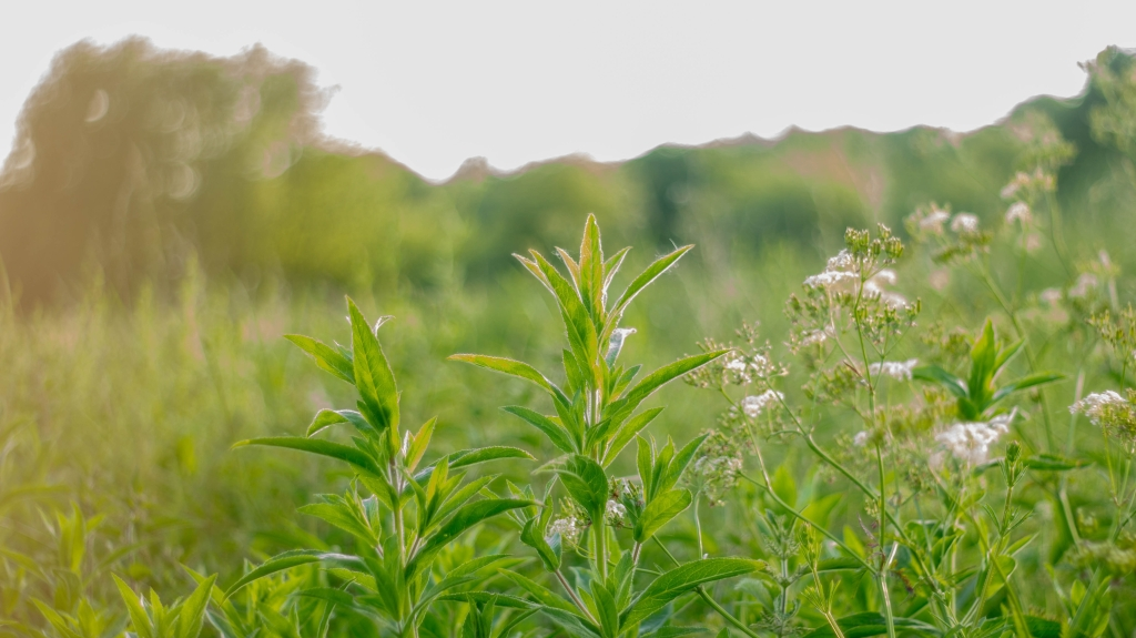 Image shows wild plants growing in a field