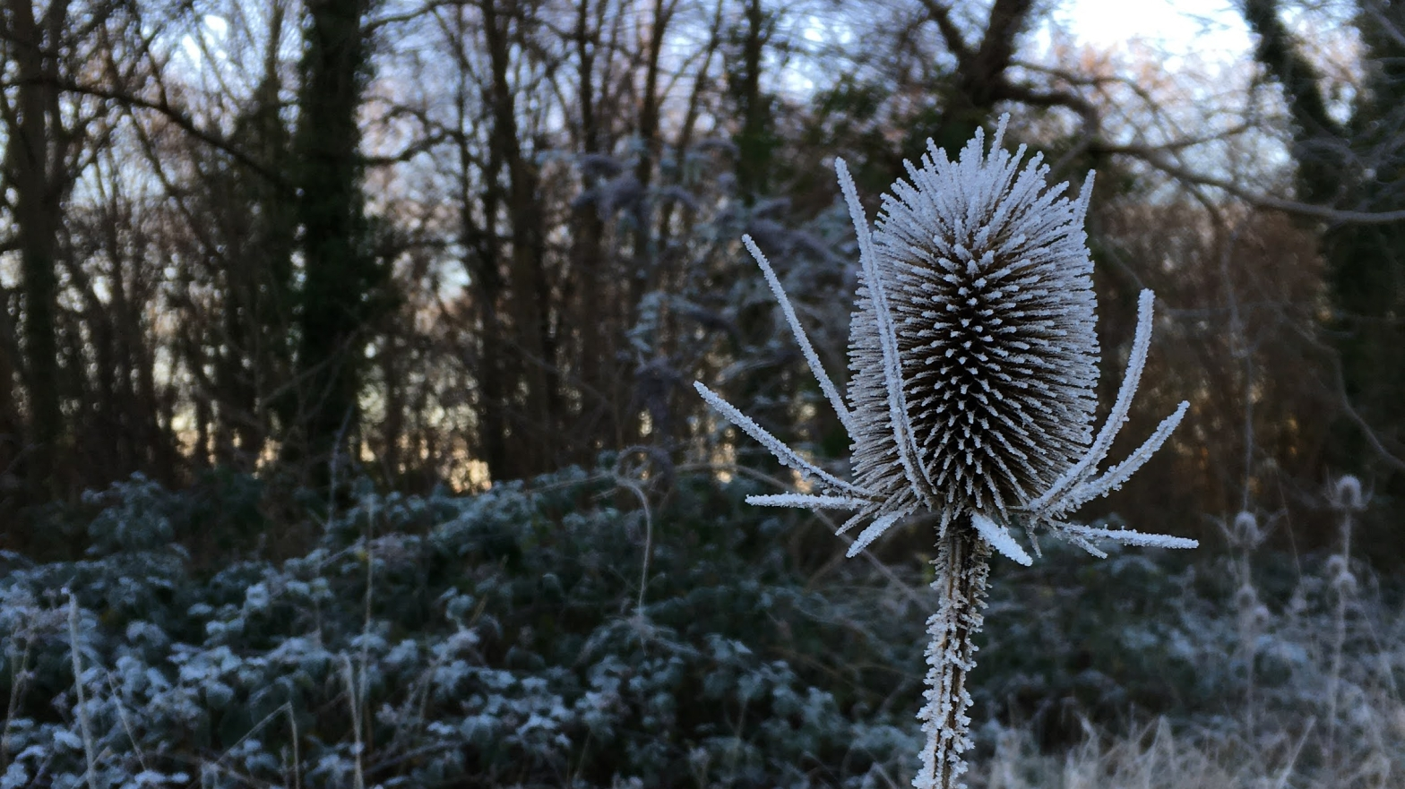 photo of a frost covered teasel with woodland in the background